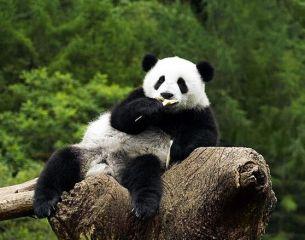 我最喜欢的动物是熊猫作文100字十篇