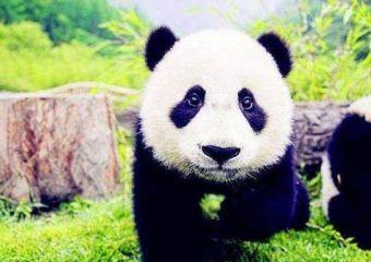 我最喜欢的动物是大熊猫作文200字十篇