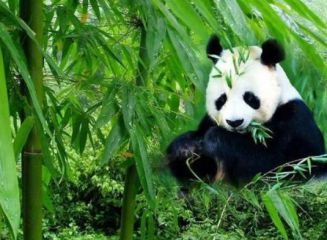 介绍我最喜欢的动物大熊猫作文300字十篇