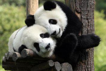 我最喜欢的动物是熊猫作文400字左右十篇