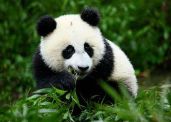 我最喜欢的动物大熊猫状物作文500字十篇