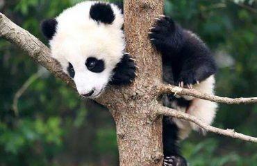 大熊猫是我最喜欢的动物作文300字说明文十篇
