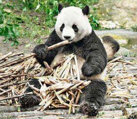 国宝熊猫的自述小学生说明文作文十篇